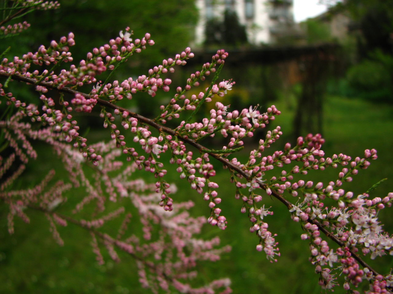 Bud Close-up Flower Focus On Foreground Outdoors Pink Color Plant Salt Cedar Springtime Tamarix Tamarix Tetrandra