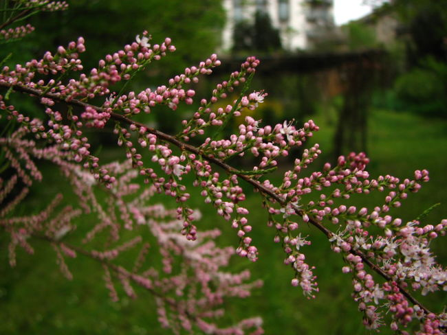 Bud Close-up Flower Focus On Foreground Outdoors Pink Color Plant Salt Cedar Springtime Tamarix Tamarix Tetrandra