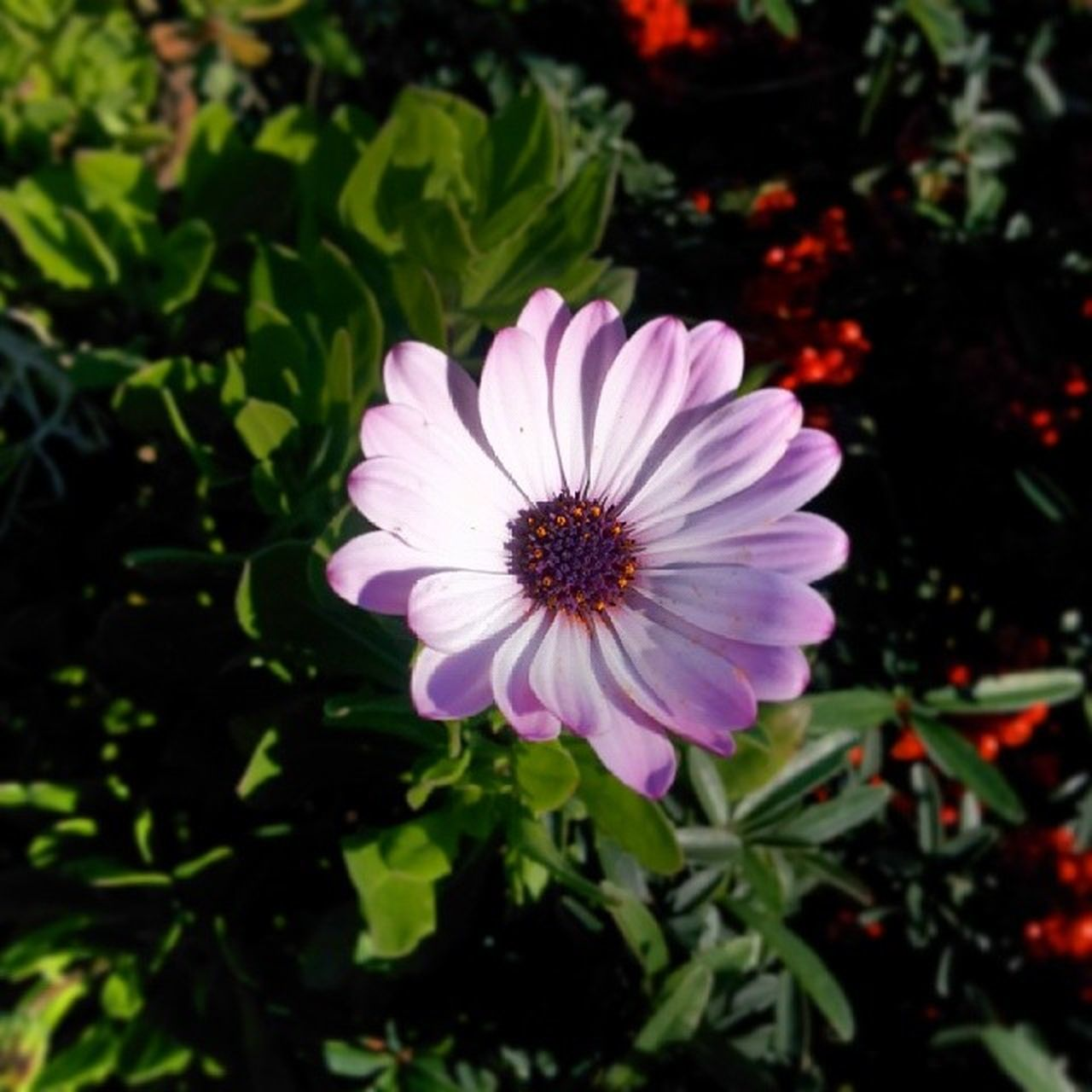 flower, petal, growth, nature, flower head, fragility, beauty in nature, blooming, plant, freshness, no people, outdoors, day, osteospermum, close-up