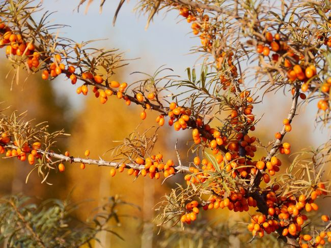 Plants Hippophae rhamnoides - Sanddorn Vitamins Medial Plant Eye4photography  With Big Steps To Autumne🍃🍂 Eyem Best Shots Eye4photography  Tadaa Community Orange Color Palette