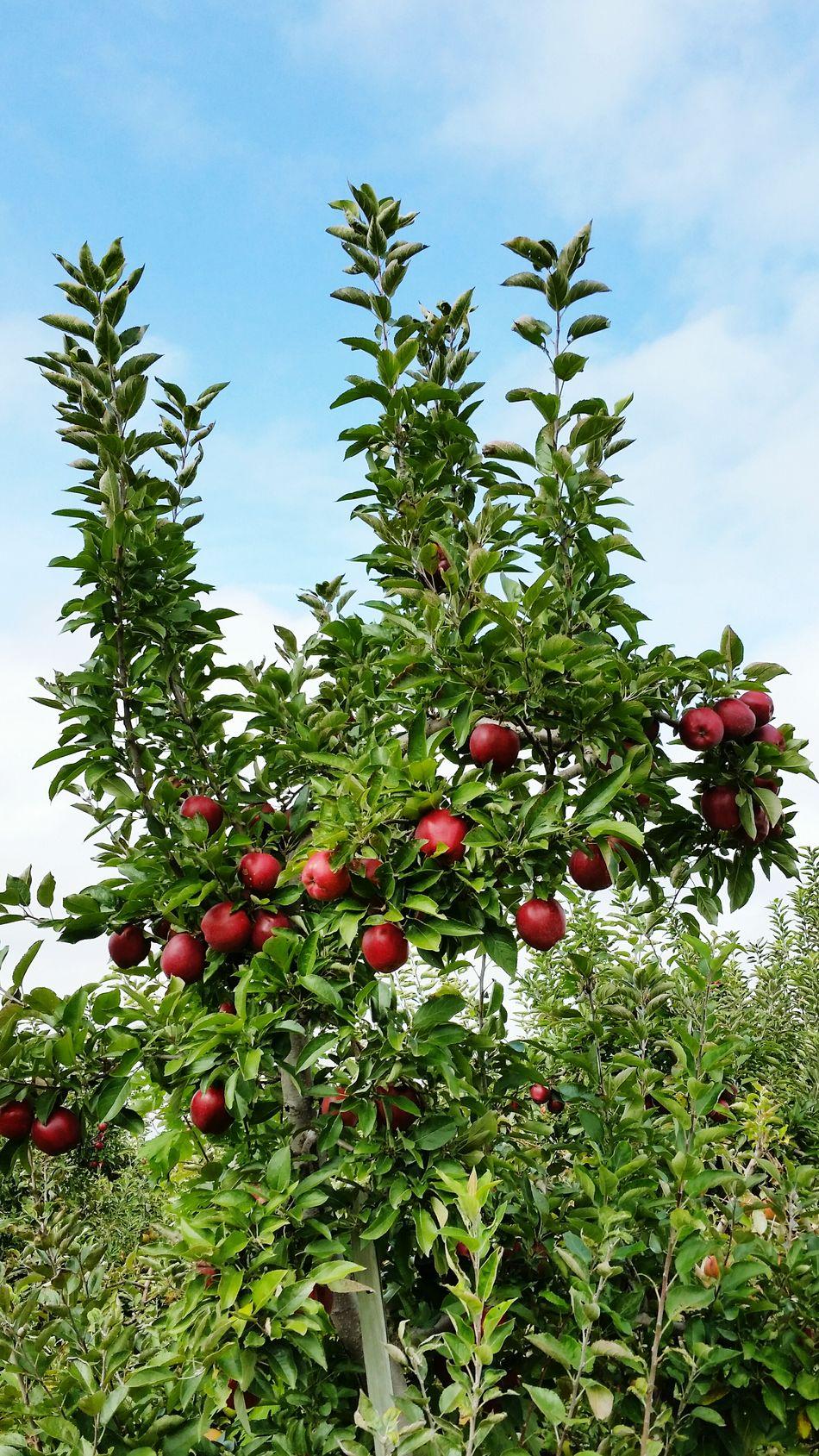 Beautiful stock photos of apple, Apple - Fruit, Apple Orchard, Apple Tree, Branch
