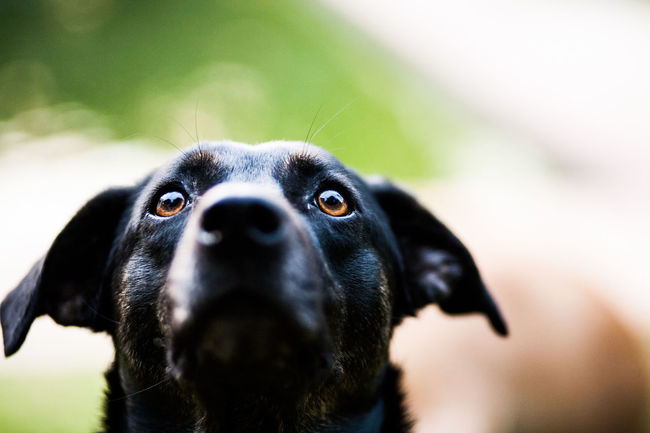Alertness Animal Animal Body Part Animal Eye Animal Head  Animal Nose Animal Themes Black Black Color Close-up Day Dog Focus On Foreground Mammal Nature No People Outdoors Part Of Pets Portrait Selective Focus Snout Market Reviewers' Top Picks Fresh On Market May 2016 Fresh On Market 2016