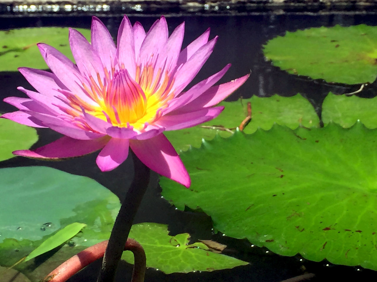 Beauty In Nature Blooming Close-up Day Floating On Water Flower Flower Head Fragility Freshness Growth Lake Leaf Lily Pad Lotus Lotus Water Lily Nature No People Outdoors Petal Plant Water Water Lily Waterfront
