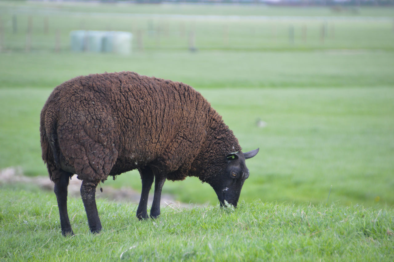 Brown Field Grass Grazing Netherlands One Animal Sheep Wool