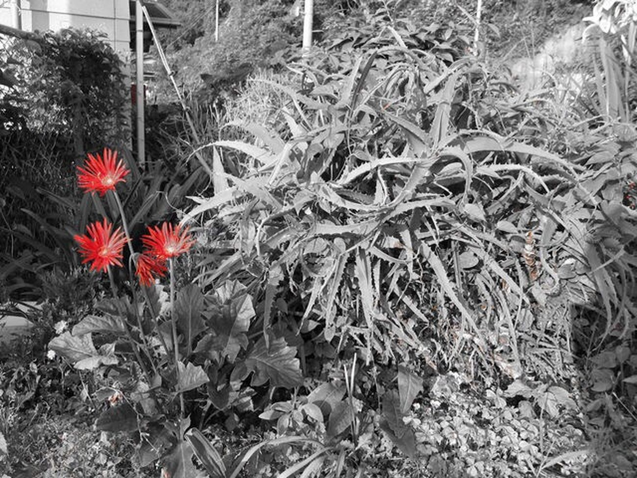 The Street Photographer - 2017 EyeEm Awards The Great Outdoors - 2017 EyeEm Awards Plants Blackandwhite Monochrome Pointred Growth Plant Flower Isolated Color Red Nature Beauty In Nature Fragility Gerbera Wildflowers Live For The Story EyeEmNewHere Place Of Heart Beauty In Nature 세계 高浜 Ehime Countryside Canonphotography