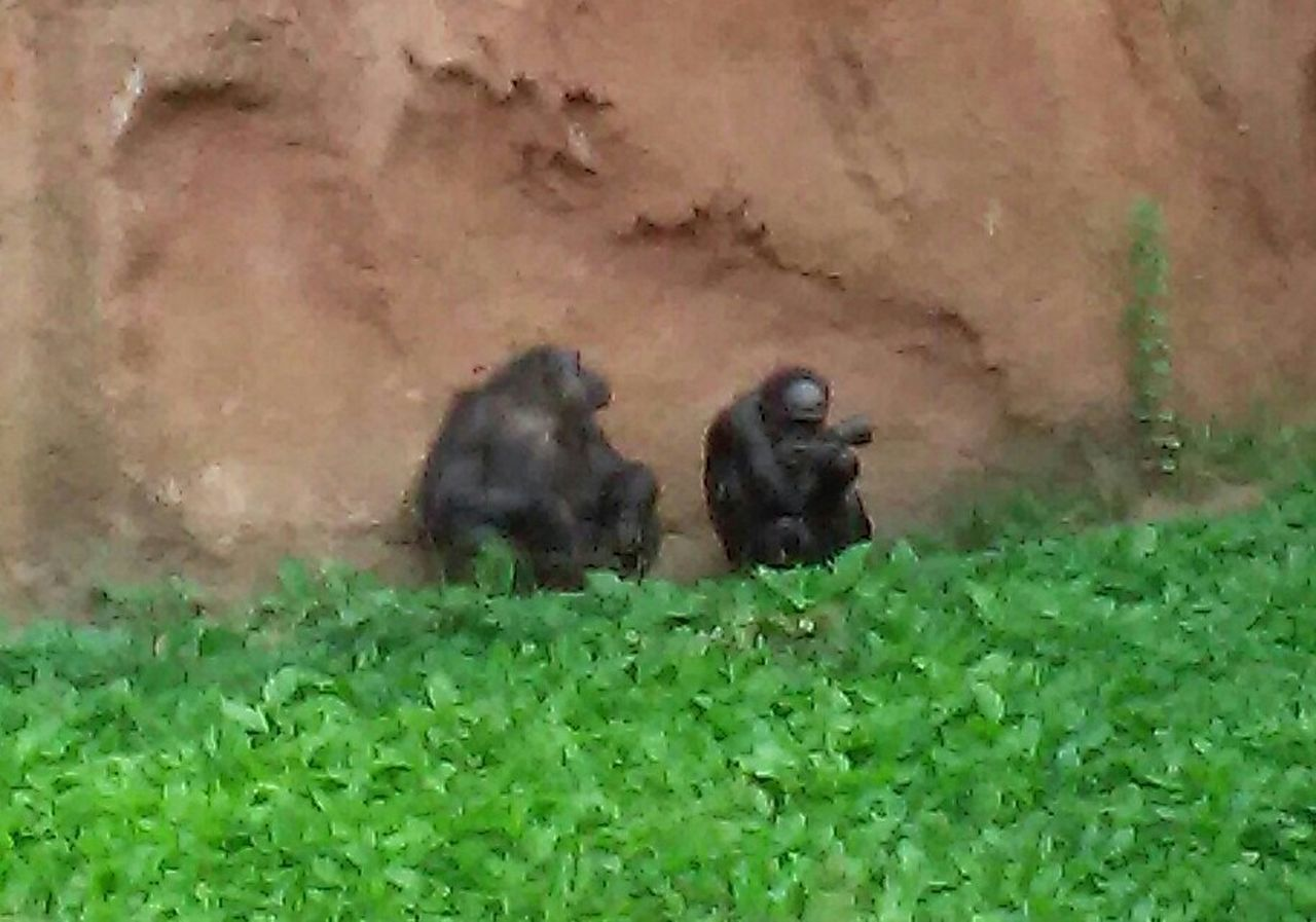Good Conversation Old Friends❤ Chimpanzees Hanging Out Enjoying Life