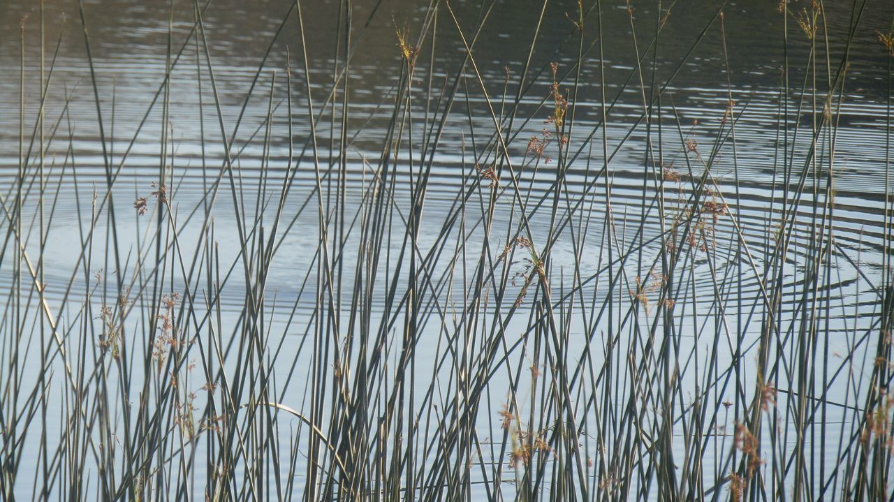 nature, lake, water, reflection, growth, plant, outdoors, no people, day, beauty in nature, tranquility, cattail, grass, scenics, close-up