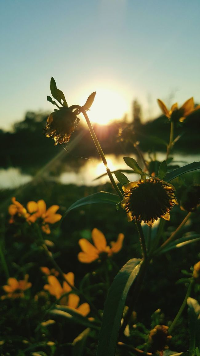 Sunset Sunbeam Sunlight Flower Plant Lens Flare Back Lit Nature Close-up Sun Agriculture No People Outdoors Beauty Beauty In Nature Flower Head Scenics Sky Freshness Day Naturephotography Macro_collection Depth Of Field Macro Nature