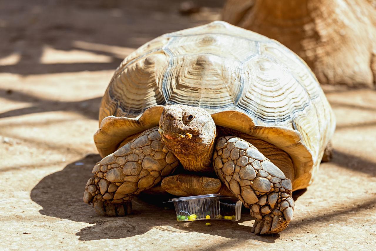 Giant Tortoise On Field