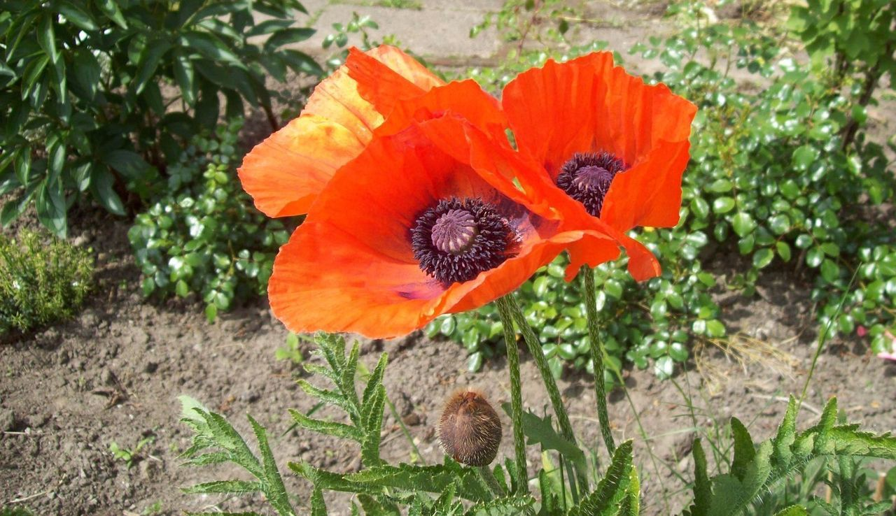 Beauty In Nature Blooming Close-up Day Flower Flower Head Fragility Freshness Growth Nature No People Outdoors Petal Plant Poppy