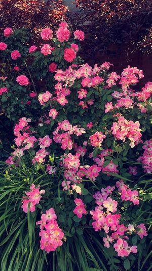 EyeEmNewHere Pink Roses Flower Green Beautiful