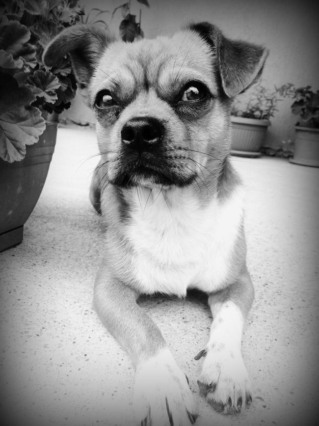 Close-up Comfortable Cute Dog Domestic Animals Looking At Camera One Animal Pets Sitting