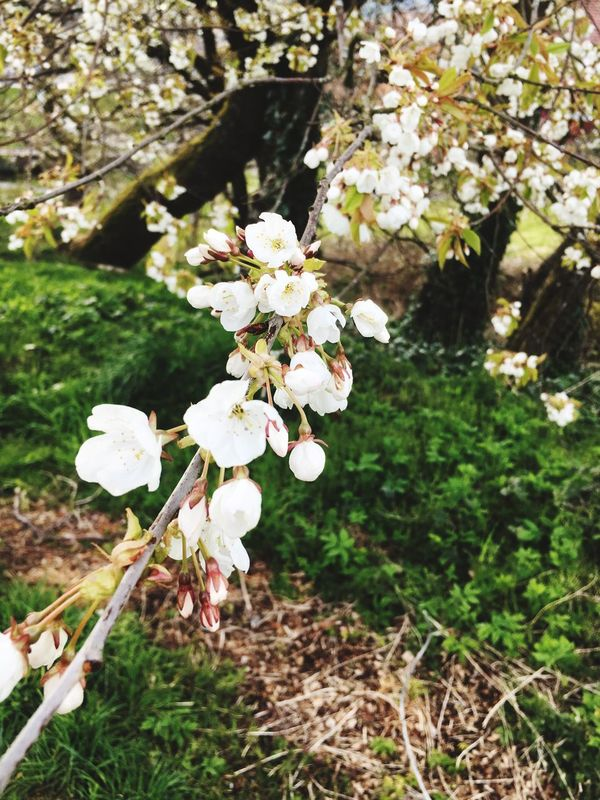 Saw this while out on a walk with the dogs #blossom