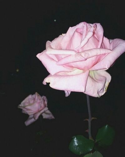 Flower Close-up No People Nature Freshness Flower Head Vintage Photo Beauty Rose🌹 Rose - Flower Rose Pink Miles Away