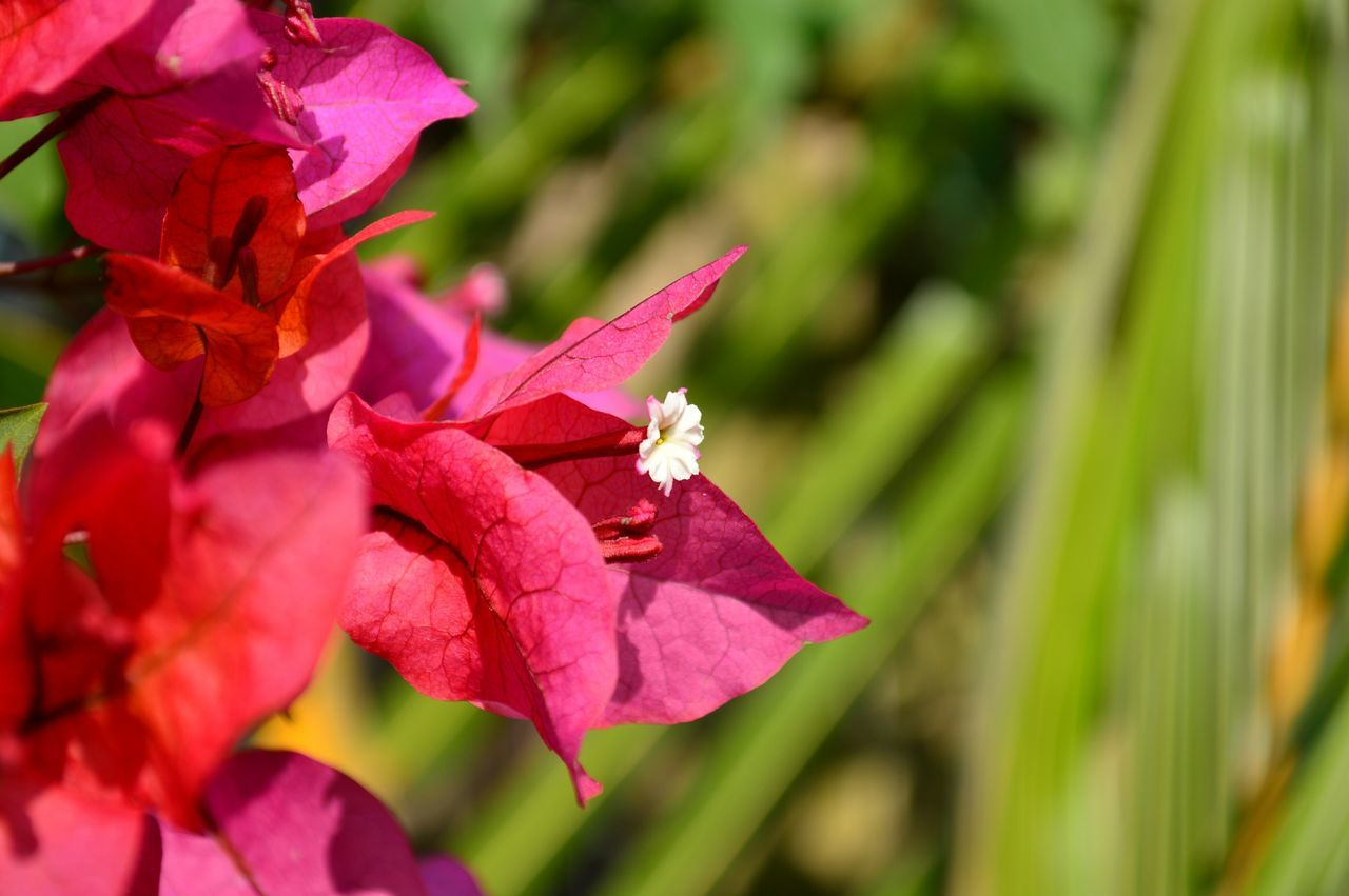 Close-Up Of Bougainvillea Blooming In Park