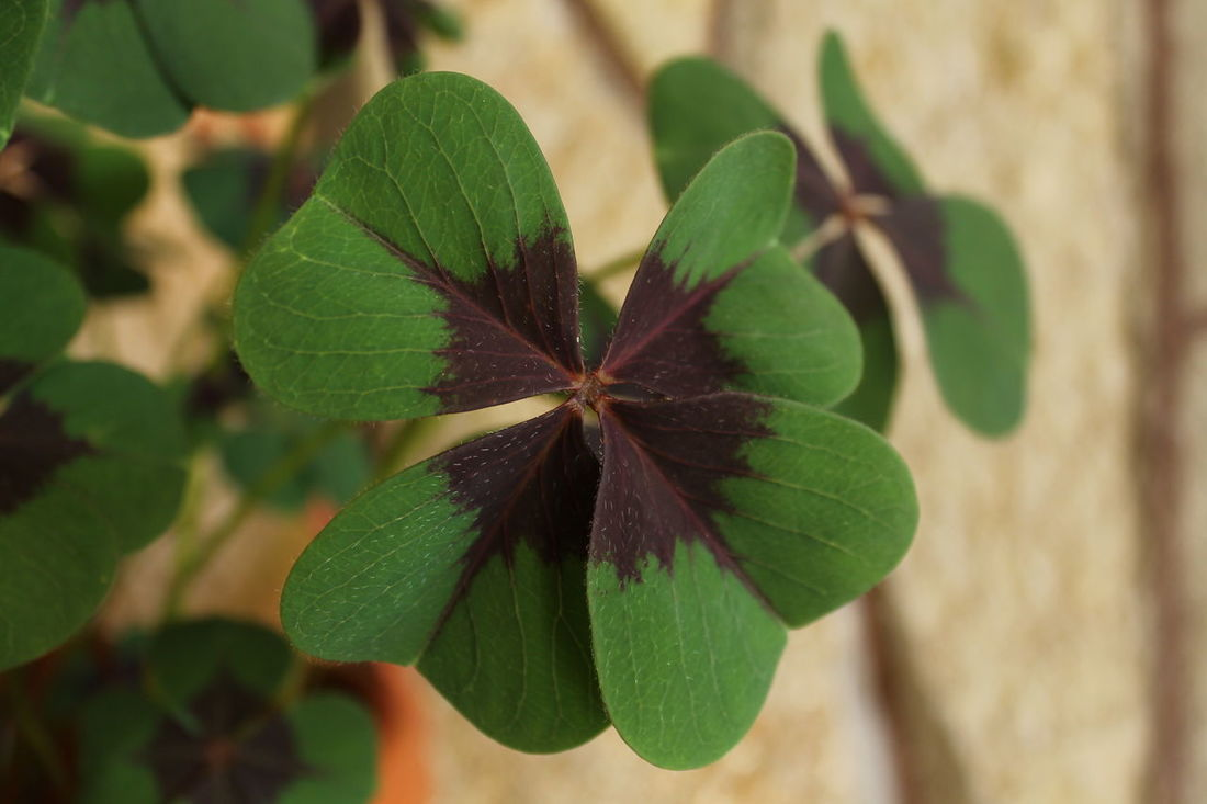 Beauty In Nature Close Up Four Leaf Clover Four Leaf Clovers 🍀 Freshness Growth Luck Plant Potted Plant