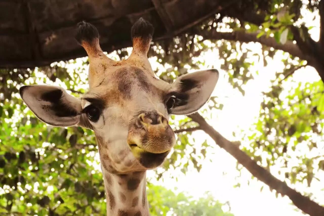 Animal Themes One Animal Animals In The Wild Wildlife Close-up Animal Head  Giraffe Focus On Foreground Tree Herbivorous Mammal Safari Animals Day Nature Outdoors Animal Nose Endangered Species Beauty In Nature Animal Markings
