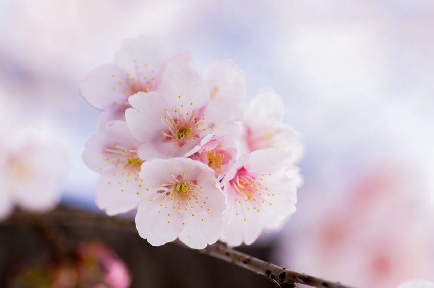 Apple Blossom Beauty In Nature Blossom Branch Cherry Blossom Close-up Day Flower Flower Head Fragility Freshness Growth Nature No People Orchard Outdoors Petal Pink Color Pollen Selective Focus Springtime Stamen Tree Twig White Color