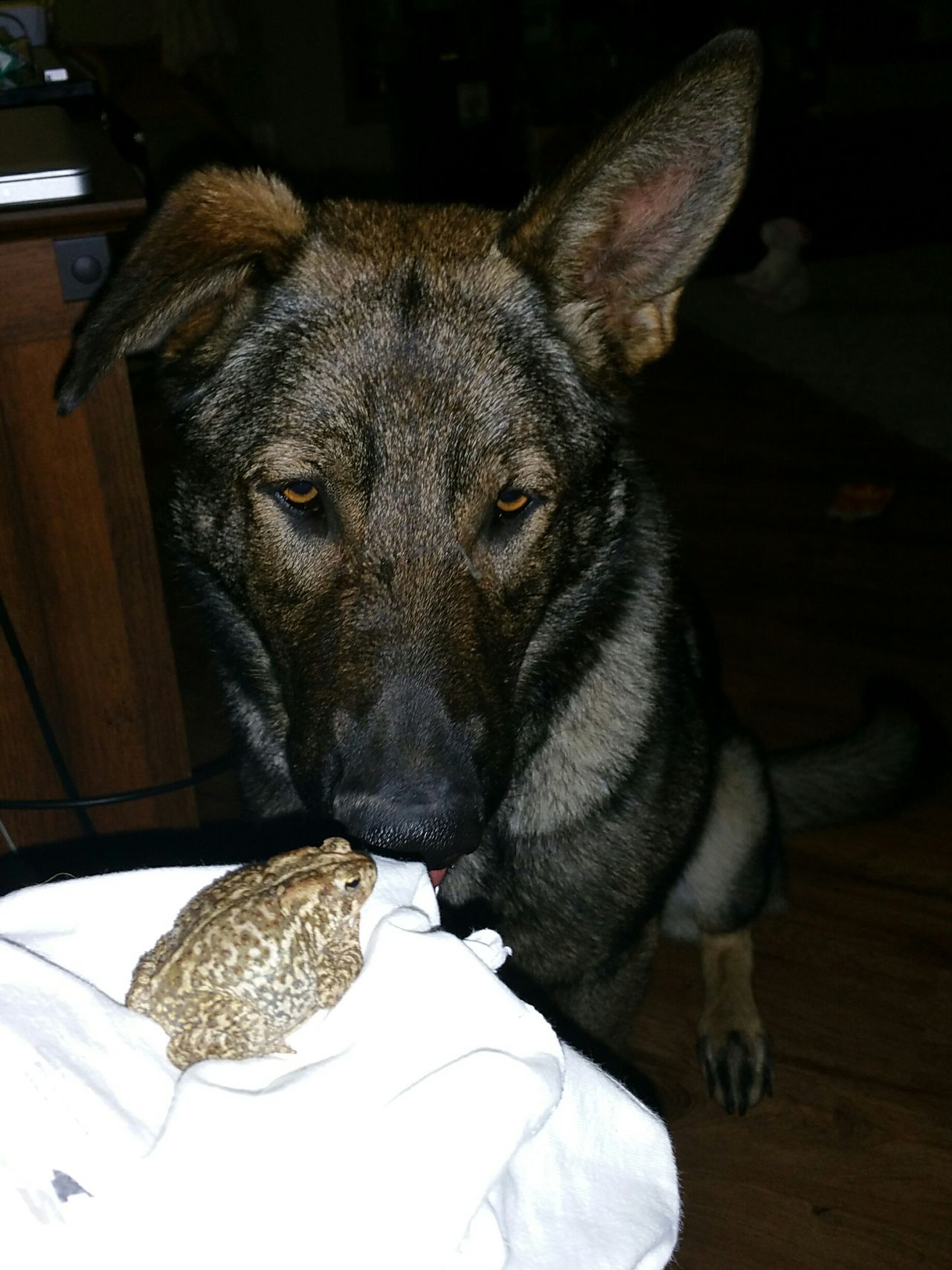 I swear, this dog! Second time now my 100 lb boy, Zeppelin, ever so gently brought his friend the toad inside to play. Hello World Check This Out Hanging Out Taking Photos German Shepherd Germanshepherd Germanshepherddog Ilovemydog Mansbestfriend Mans Best Friend Furkids Dogs Of EyeEm Dog Love Toad Toads SummerNights South Dakota Southdakota