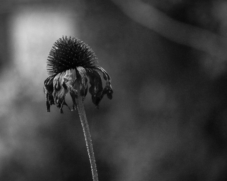 Past prime flower in my garden Aging Process Beauty In Nature Black And White Blossom Canada Close-up Dead Plant Dry Flower Flower Head Focus On Foreground Garden Ontario Petal Plant Plants Single Flower Stem Toronto