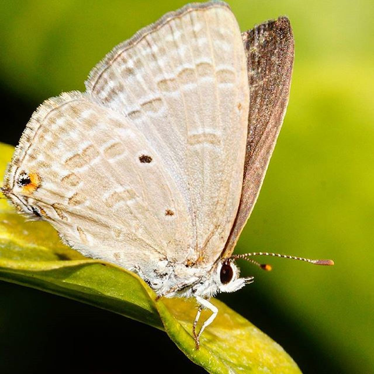 insect, one animal, butterfly - insect, animal themes, animals in the wild, animal wing, close-up, animal wildlife, plant, nature, no people, leaf, outdoors, perching, spread wings, day