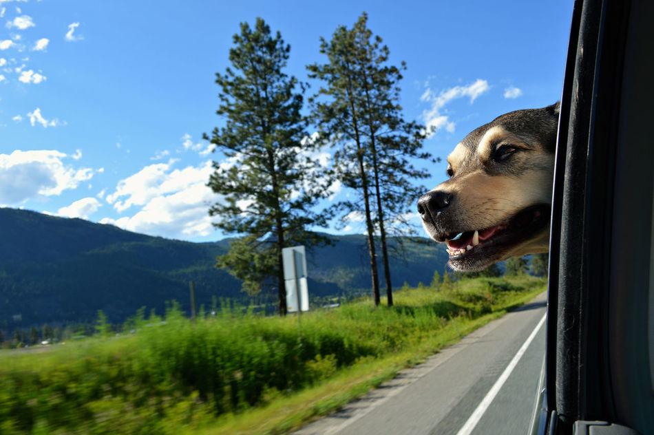 Beautiful stock photos of german shepherd, Animal Body Part, Animal Head, Animal Themes, Canada