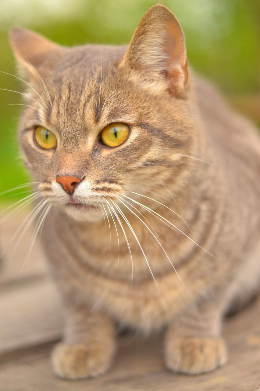 domestic cat, one animal, animal themes, feline, pets, domestic animals, whisker, mammal, cat, focus on foreground, no people, close-up, day, indoors, portrait