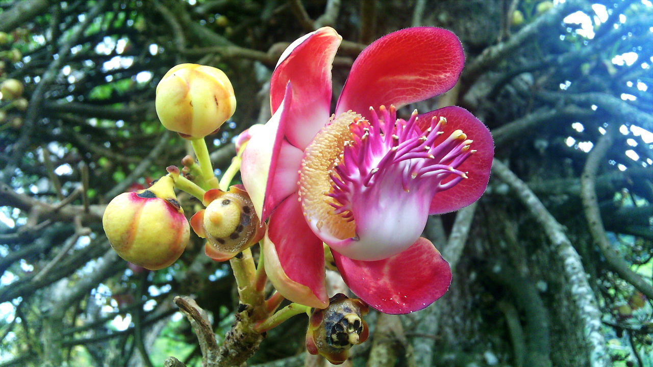 Beauty In Nature Botany Close-up Couroupita Guianensis Flower Flowering Tree Nature Plant