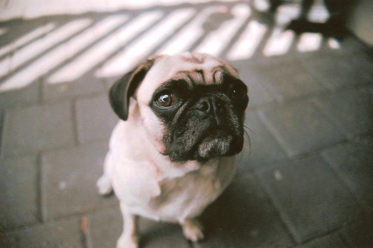 Wilco the pug Shoot Film 35mm 35mm Film Film Close-up Day No People Portrait Looking At Camera Animal Themes Domestic Animals Mammal Pets Dog One Animal Pug Mops Cute EyeEm Ready