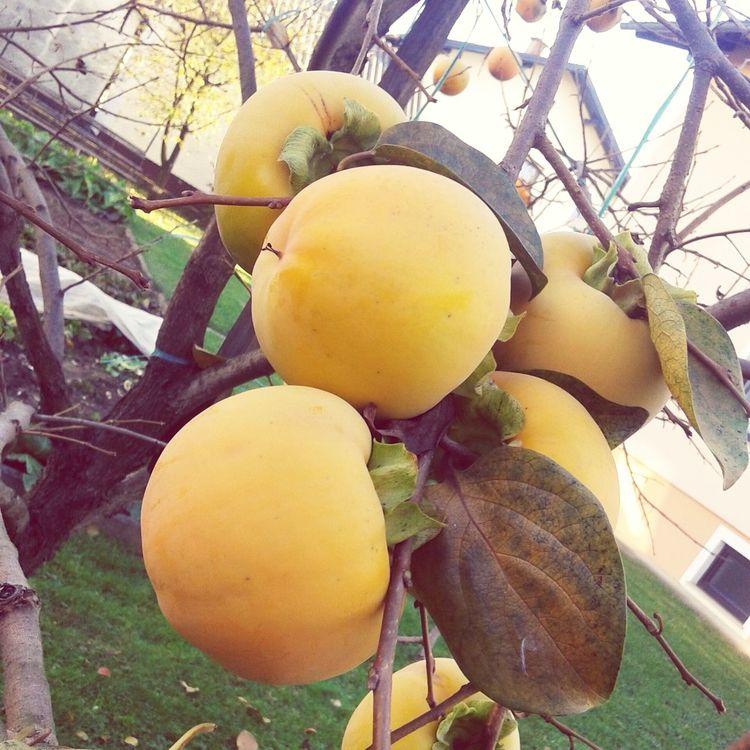 Kaki Fruit On Branch On Tree Harvest Harvest Time Harvesting Eat More Fruit Delicious Fruit Food Photography Fruit Photography