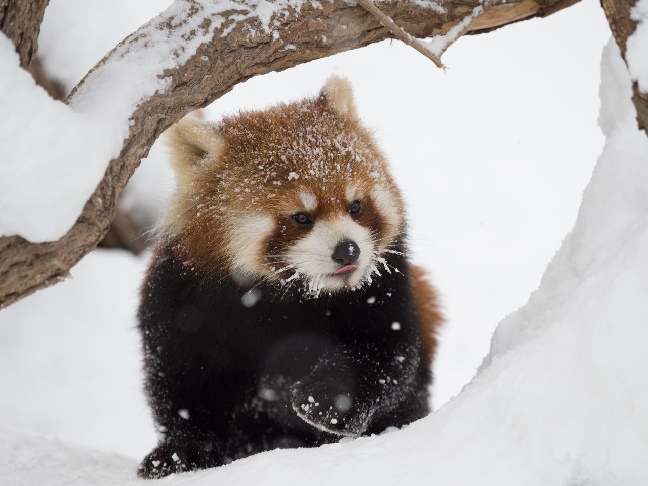 Ailurus Fulgens Animal Themes Animal Wildlife Animals In The Wild Close-up Cold Temperature Day Frozen Lesser Panda Mammal Nature No People One Animal Outdoors Raccoon Red Panda Snow Snowing Tree Weather Winter Zoo
