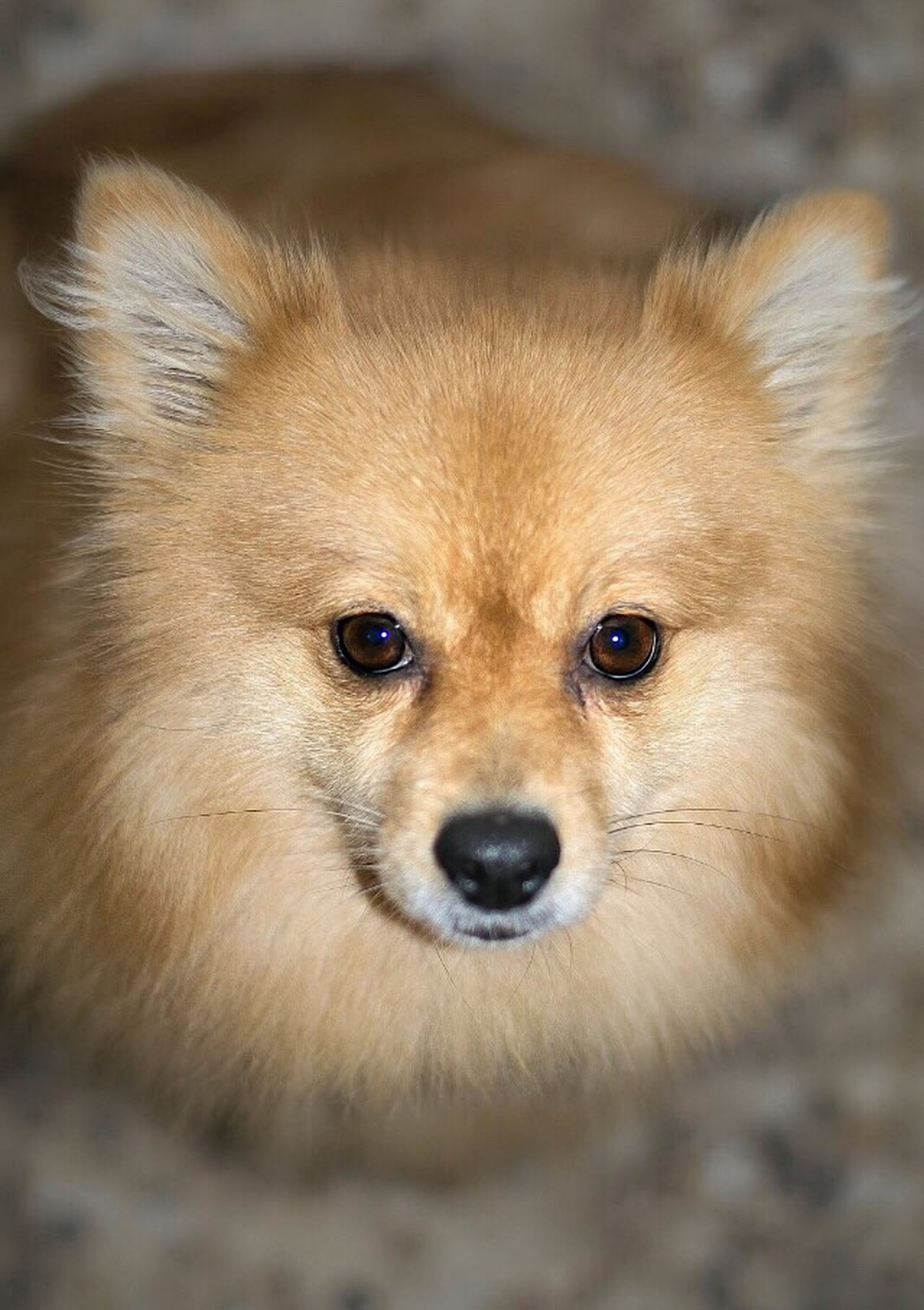 Dog My Little Muffi One Animal Animal Themes Looking At Camera Portrait Pomeranian No People Nature Day Outdoors Love ♥