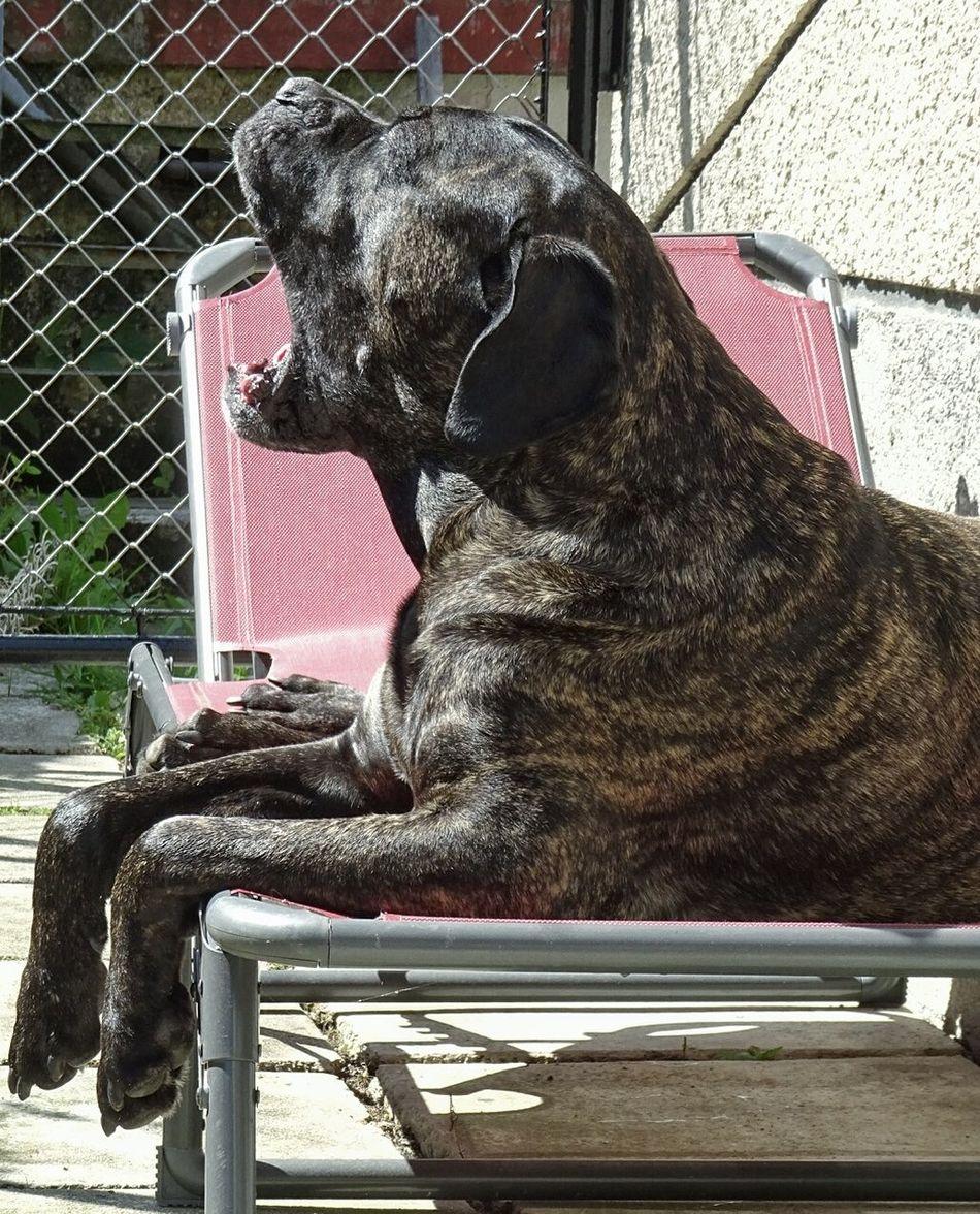 Sunbathing Dog Sunbathing dog enyojing life Sunny Day Canecorso  Mastiff He Likes The Sun Catching Sun Summer Day Dog On A Summer Day