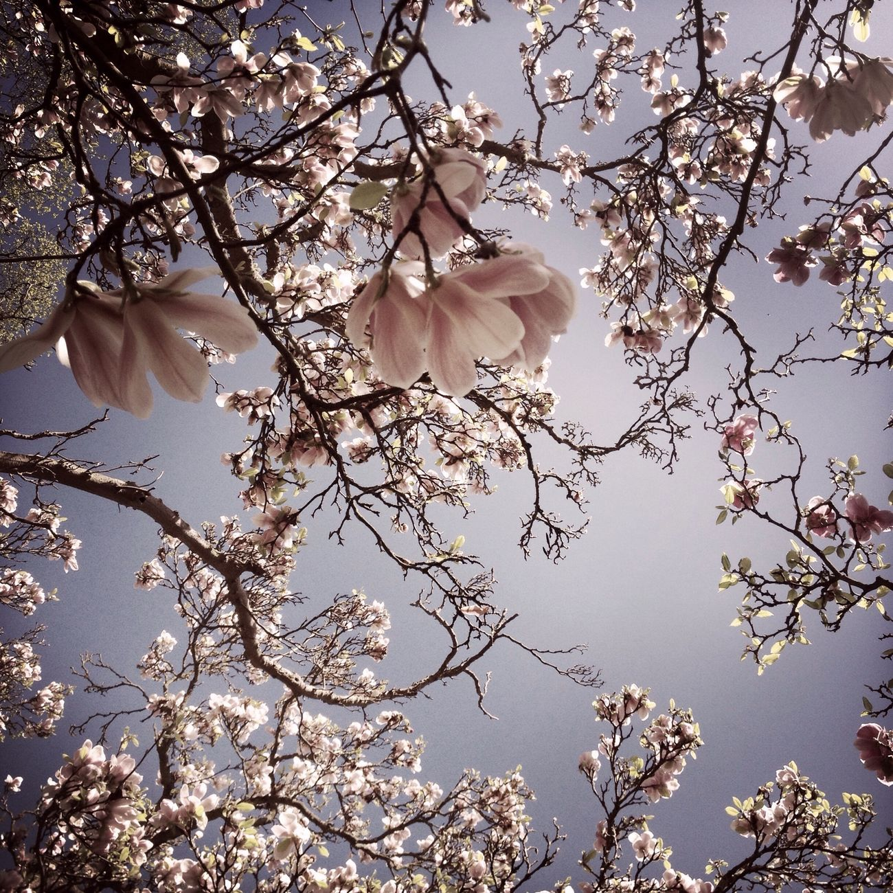 Magnolia Sky Shootermag AMPt - Ethereal