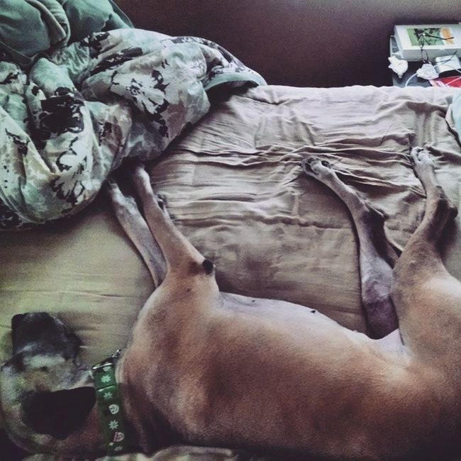 """Sometimes I let my mom and dad sleep in my bed."" Greatdane Greatdanesofinstagram Dane Danesofinstagram Bambiwambi Gotdane Nicetobebackinaqueen"