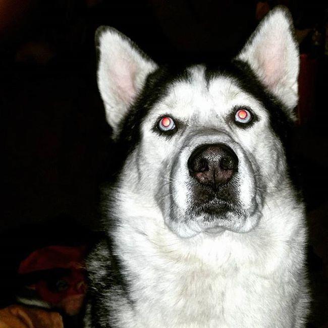 Jasper!😍😍😙👌Dogsofinstagram Dog Nationaldogday Husky BlueEyes Pretty Cute Mansbestfriend Doubletap Instagood Instalike Instagram Instapic Likes Likeforlike Like4like Followback Ifollowback Followforfollow Spam Spamme
