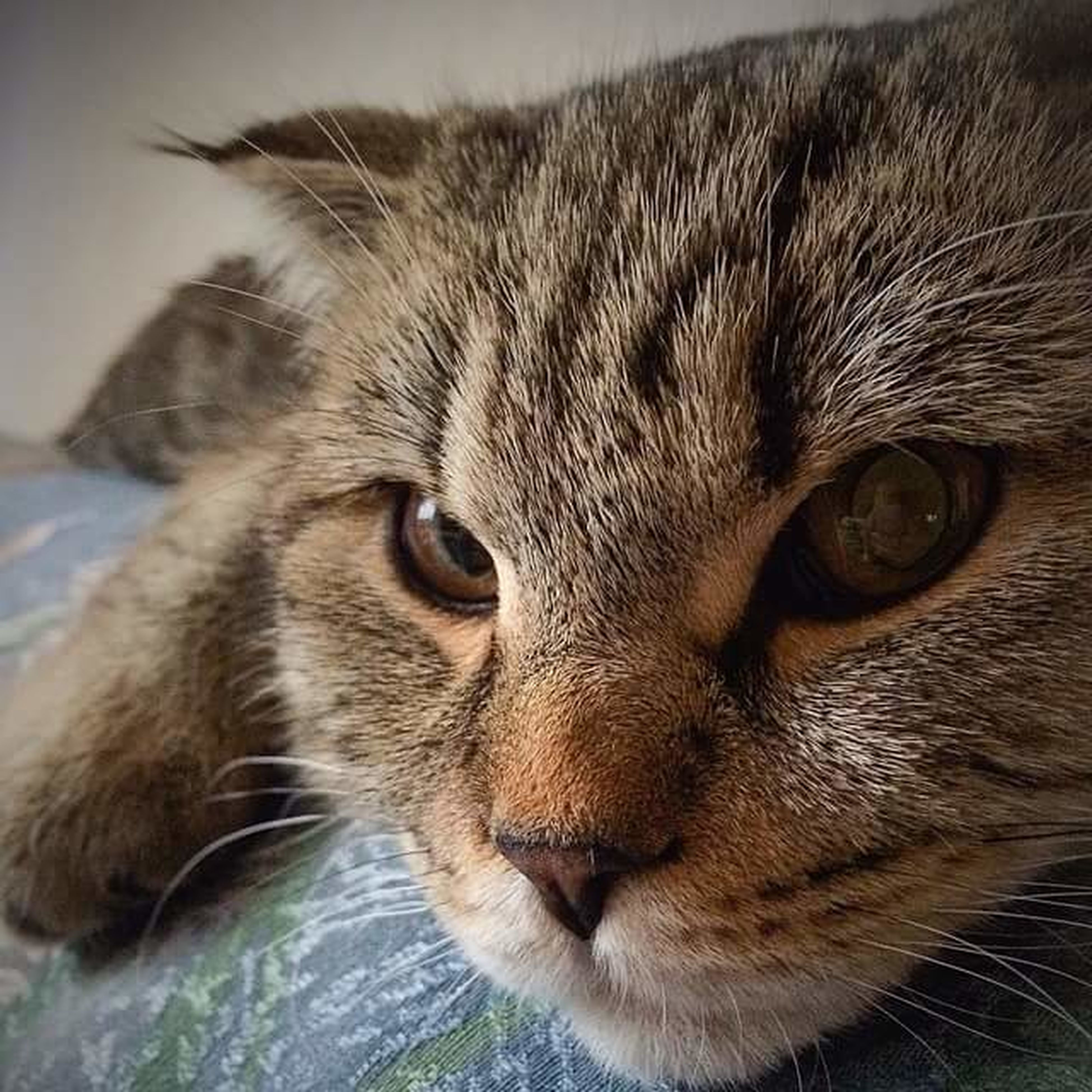 animal themes, one animal, mammal, domestic cat, domestic animals, pets, whisker, cat, feline, close-up, portrait, animal head, looking at camera, focus on foreground, animal body part, animal eye, alertness, staring, front view, no people