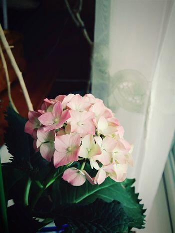 수국수국 노래를 불렀더니 엄마가 아는 분께 분양?받아오심. 그리고 딱 하나 피었음. 꽃 Flowers