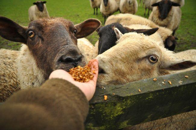 Domestic Animals Close-up Green Color Sheep OpenEdit Open Edit Snapshot Non-urban Scene Sheep Farm Sheeps Sheepfarm Sheep🐑 Sheep Newzealand Newzealandphotography Newzeland