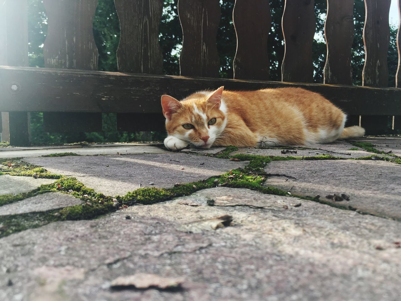 animal themes, one animal, pets, domestic animals, domestic cat, mammal, day, feline, looking at camera, portrait, outdoors, no people, nature
