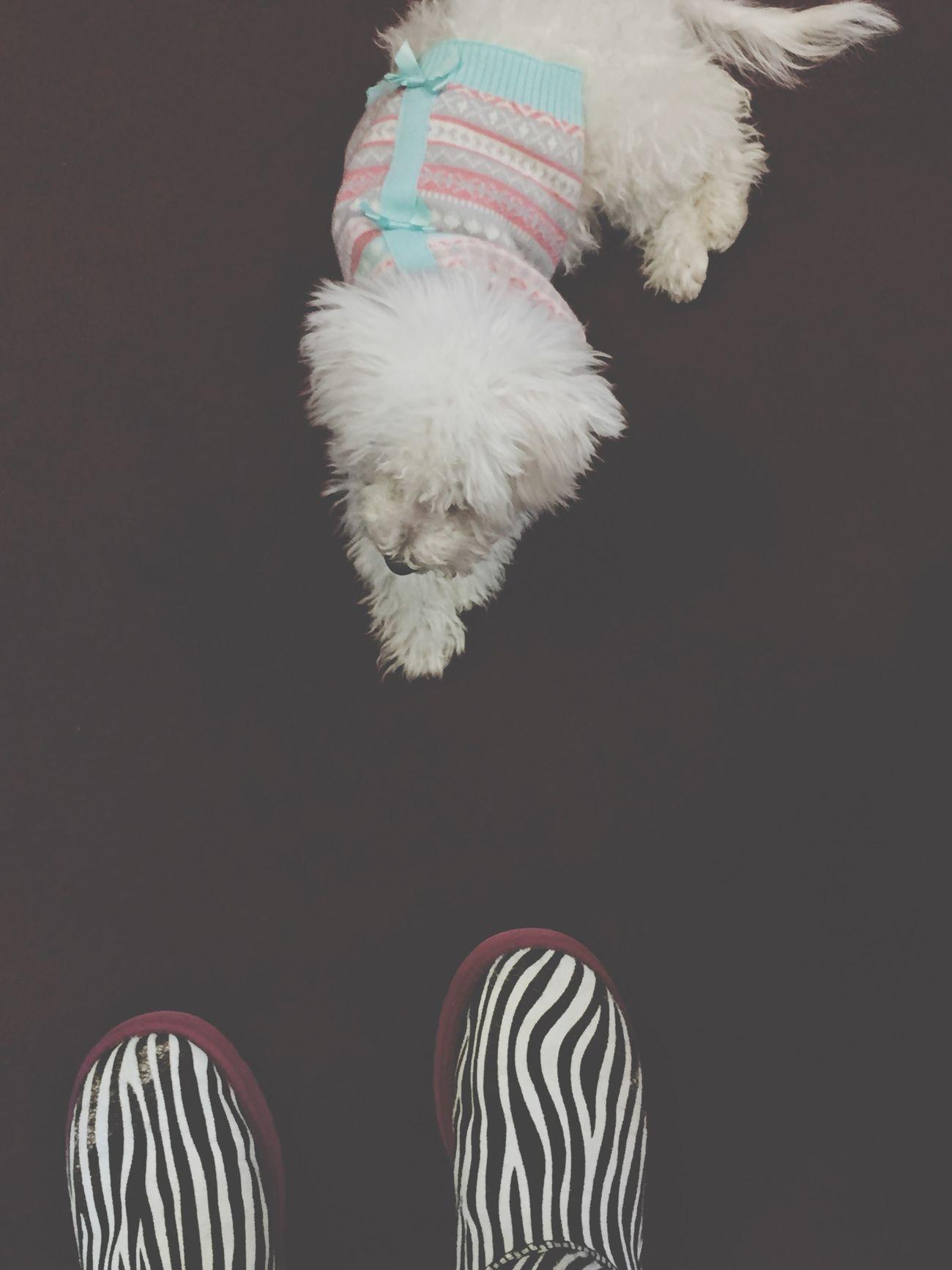 """dugs"" & uggs 😊 Winter Dogs Pets Uggs Zebra Bichonfrise"