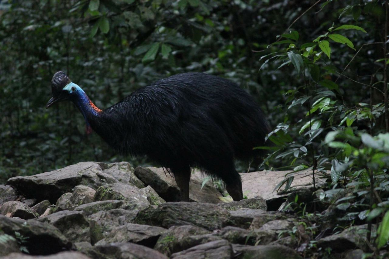 Cassowary in FNQ Cassowary Fnq Queensland Creek Rainforest Nature Animals In The Wild Deadly