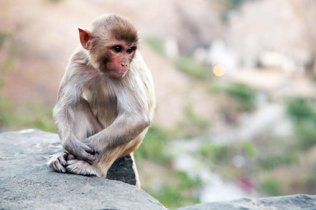 Canon Animal India Jaipur Jaipur Monkey Temple Jaipur Rajasthan Monkey Monkey Temple Pilgrimage Rajasthan Sacred Saint Tourism Destination Travel Travel Destinations Travel Photography