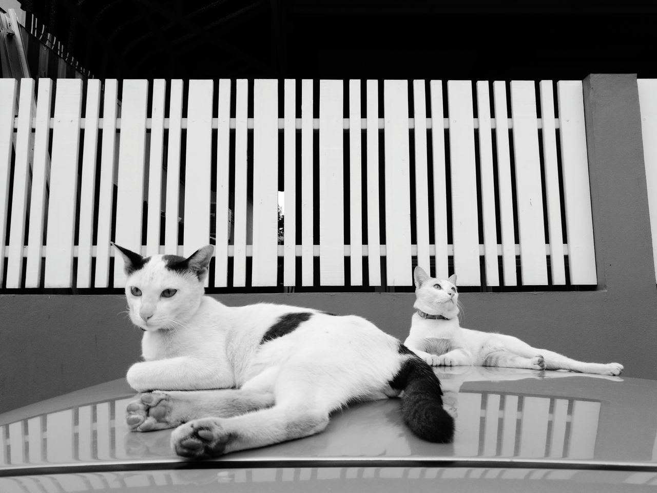 Pets No People Day Animal Themes Outdoors Catlover Cats Of EyeEm Catholic Catsagram HuaweiP9 Sky Cat On Car Roof Animal Bw_collection Bw_lover Bw_shotz