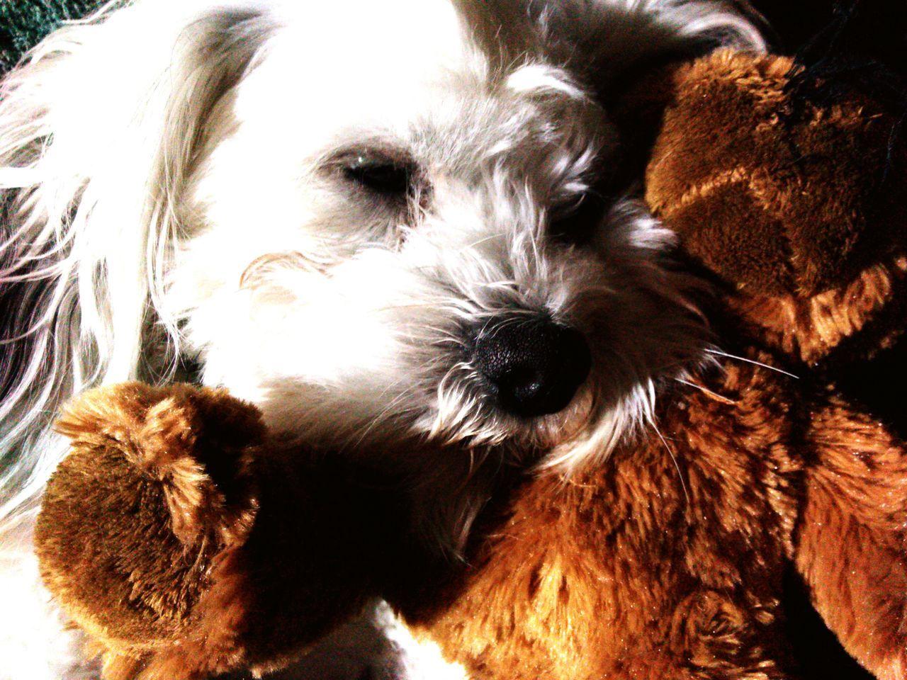 Nap Time Dog Love Teddybear With Teddy Bear Adorable Dog Adorable Pets Cute Pets Too Cute Dog Breed Teddybear Shitzu Maltese Mix