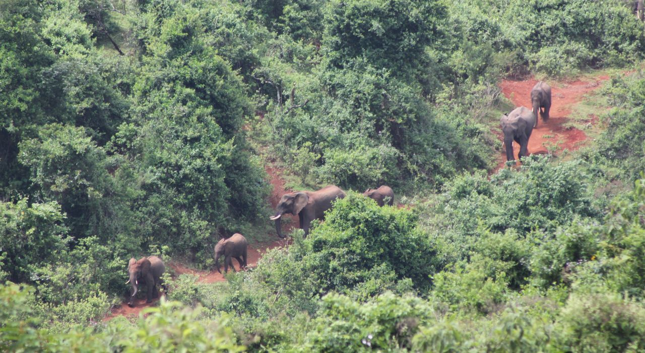 Africa Animal Themes Animals In The Wild Big Five Elephant Elephant Trekking Elephants Forest Getting Away From It All Green Kenya Outdoors Rainforest Redroads Road Safari Animals Top Perspective