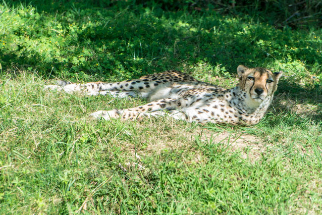 leopard in nature safari Beauty In Nature Day Field Grass Grassy Green Color Growth JAGUAR Landscape Lying Down Mammal Nature No People Outdoors Plant Portrait Relaxation Relaxing Resting Selective Focus