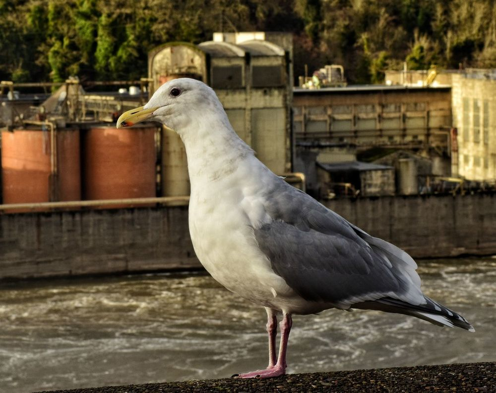 This seagull was such a begger, cracked me up! About posed for every picture lol! EyeEm Best Shots - Nature EyeEm Nature Lover EyeEm Best Shots Nature Photography Eye4photography  Eyeem Photography Eyemphotography Eyem Gallery Nikond3300 From My Point Of View Taking Photos Willamette River  Willamette Falls Seagull Wildlife River Naturephotography