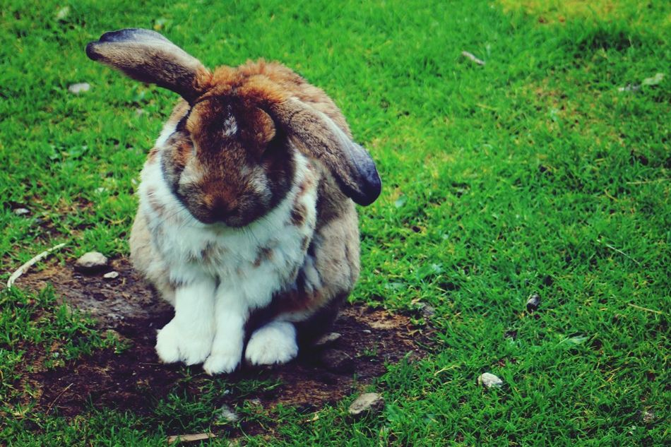 Beautiful stock photos of rabbit, Animal Themes, Day, Domestic Animals, Grass