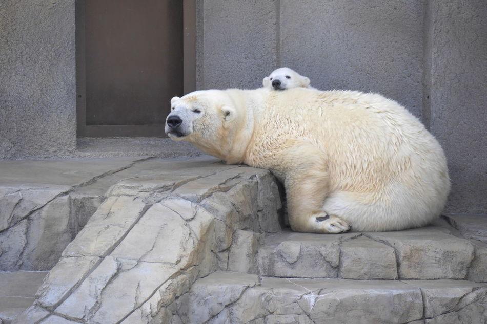 Beautiful stock photos of polar bear, Animal Themes, Animals In Captivity, Animals In The Wild, Architecture